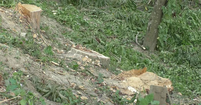 বেনাপোলে তিনটি সরকারি গাছ কাটলো প্রভাবশালীরা
